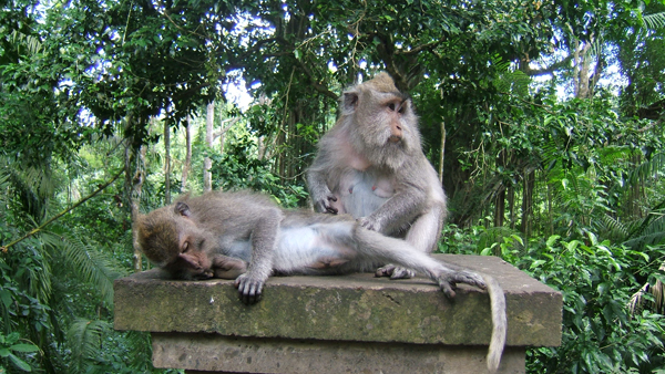 Family Bali Tours - Monkey forest1
