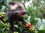 family bali tours - Kopi-with-Luwak